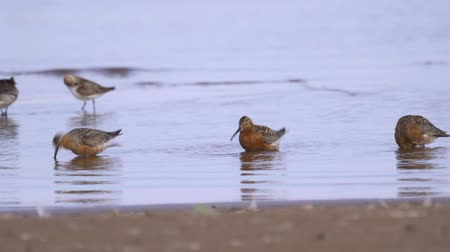 calidris ferruginea : Group of curlew sandpiper (Calidris ferruginea) walk through the shallow water. Curlew sandpiper get forage from silt and eat it. Curlew sandpiper washes and cleans its feathers. Stock Footage