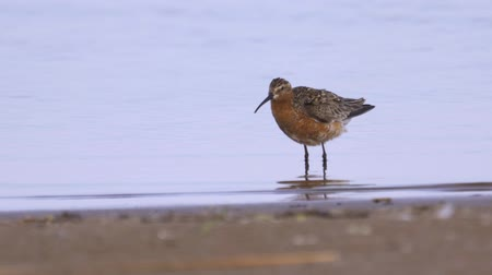 calidris ferruginea : Curlew sandpiper (Calidris ferruginea) walk through the shallow water. Curlew sandpiper washes and cleans its feathers. Stock Footage