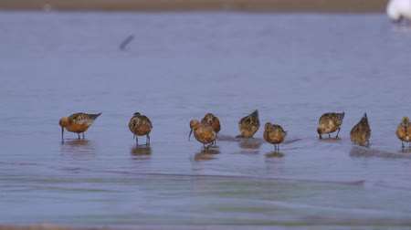 migratory birds : A flock of birds - curlew sandpipers (Calidris ferruginea) run through the shallow water. Curlew sandpipers get forage from silt and eat it. Stock Footage