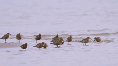 calidris ferruginea : A flock of birds - curlew sandpipers (Calidris ferruginea) run through the shallow water. Curlew sandpipers get forage from silt and eat it. Stock Footage