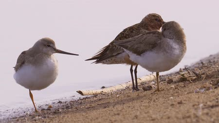 stěhovavý : Two terek sandpipers (Calidris ferruginea) and one curlew sandpiper stand on the sand. Birds rest.