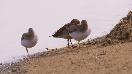 calidris ferruginea : Two terek sandpipers (Calidris ferruginea) and one curlew sandpiper stand on the sand. Birds rest.