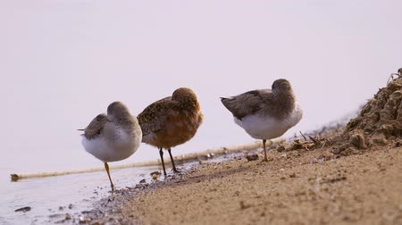 observação de aves : Two terek sandpipers (Calidris ferruginea) and one curlew sandpiper stand on the sand. Birds rest.