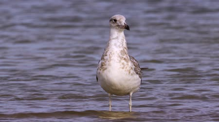 миграционный : Young steppe gull (Larus cachinnans) stand in shallow water and rest.