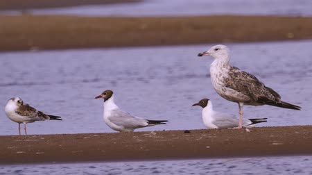 stěhovavý : Young steppe gull (Larus cachinnans) stand on the sandy shore and rest.