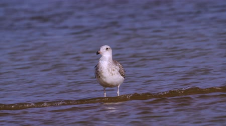 stěhovavý : Young steppe gull (Larus cachinnans) stand in shallow water and rest.