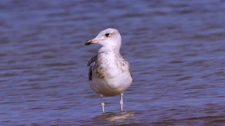 migratory birds : Young steppe gull (Larus cachinnans) stand in shallow water and rest.
