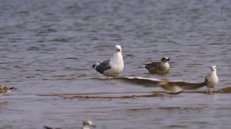 stěhovavý : Bird steppe gull (Larus cachinnans) with adult chicks