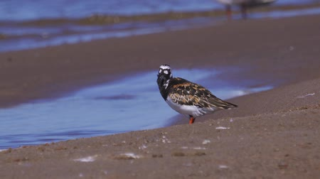 trampoliere : Bird Ruddy Turnstone (Arenaria interpres)