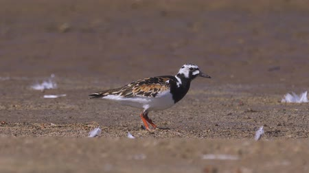stěhovavý : Bird Ruddy turnstone (Arenaria interpres) walks along