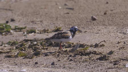миграционный : Bird Ruddy turnstone (Arenaria interpres) walks along