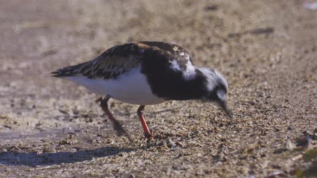 migratory birds : Bird Ruddy turnstone (Arenaria interpres) walks along