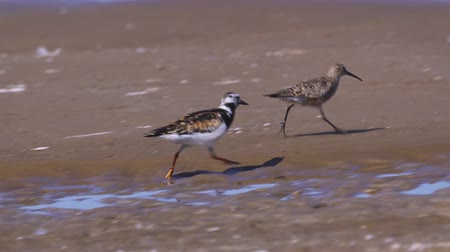 calidris ferruginea : Birds Ruddy turnstone (Arenaria interpres) runs along the sandy shore. Stock Footage