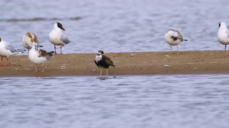 philomachus pugnax : Ruff (Philomachus pugnax) male bird stands on a sandbar. Stock Footage