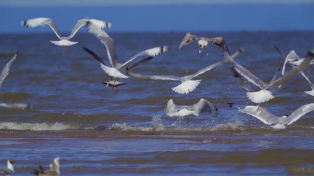 off shore : SlOW MOTION: A flock of birds of gulls - great black-headed gull (Larus ichthyaetus) and black-headed gull (Chroicocephalus ridibundus) takes off.