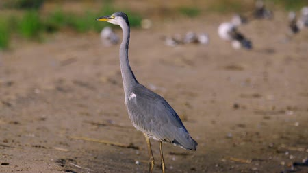 predatory bird : Gray heron bird (Ardea cinerea) walks along the sunny summer morning. Close-up. Stock Footage