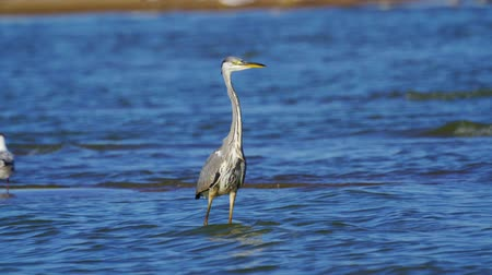 predatory bird : Gray heron bird (Ardea cinerea) walks through shallow water on a sunny summer morning.