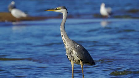 predatório : Gray heron bird (Ardea cinerea) walks through shallow water on a sunny summer morning. Close-up. Vídeos