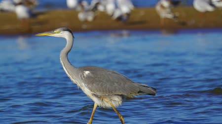 predatory bird : Gray heron bird (Ardea cinerea) walks through shallow water on a sunny summer morning. Close-up. Stock Footage