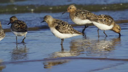trampoliere : A little stint (Calidris minuta) stand in shallow water near the shore. Close-up. Filmati Stock
