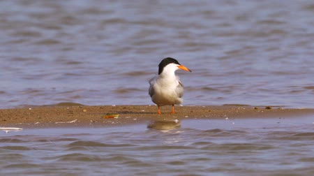 tern : Bird common tern (Sterna hirundo) stands on a sandbar and cleans his feathers.