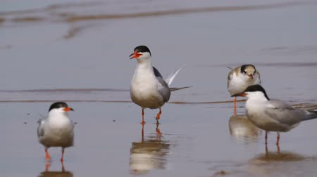 tern : Birds common terns (Sterna hirundo) walks through sandbanks and shallow water. Common terns scream loudly and emotionally. Stock Footage