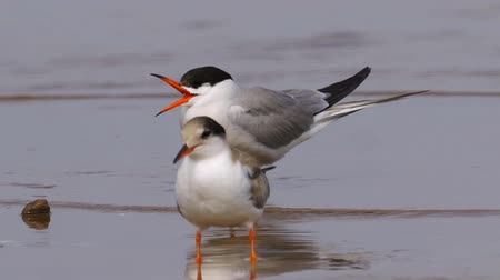 миграционный : Bird common tern (Sterna hirundo) walks through sandbanks and shallow water. Close-up.