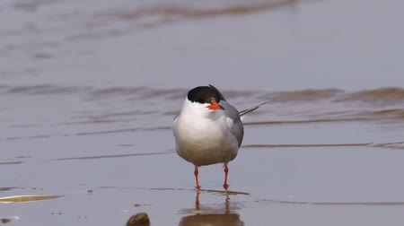 tern : Bird common tern (Sterna hirundo) walks through sandbanks and shallow water. Close-up.