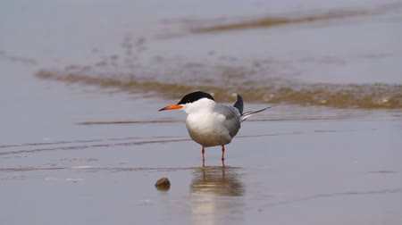 zwaluw : Bird common tern (Sterna hirundo) walks through sandbanks and shallow water.