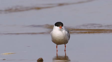 nyel : Bird common tern (Sterna hirundo) walks through sandbanks and shallow water. Close-up.