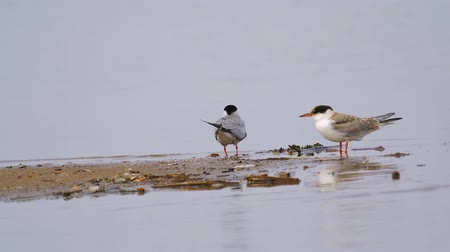 zwaluw : Two birds common terns (Sterna hirundo) walks through sandbanks and shallow water.