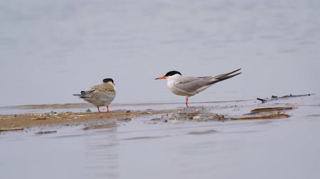 tern : Two birds common terns (Sterna hirundo) walks through sandbanks and shallow water.