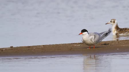 hirondelles : Bird common tern (Sterna hirundo) stands on a sandbar and cleans his feathers.