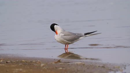 nyel : Bird common tern (Sterna hirundo) stands on a sandbar and cleans his feathers.