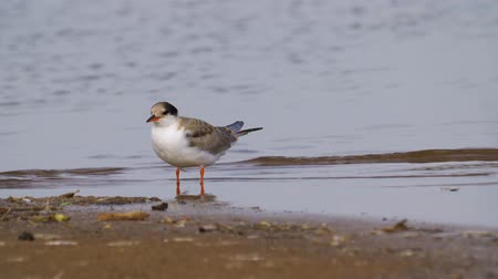 tern : Bird common tern (Sterna hirundo) walks through sandbanks and shallow water.
