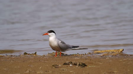 миграционный : Bird common tern (Sterna hirundo) walks through sandbanks and shallow water.