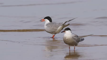 migratory birds : Birds common terns (Sterna hirundo) walks through sandbanks and shallow water. Common terns scream loudly and emotionally. Stock Footage