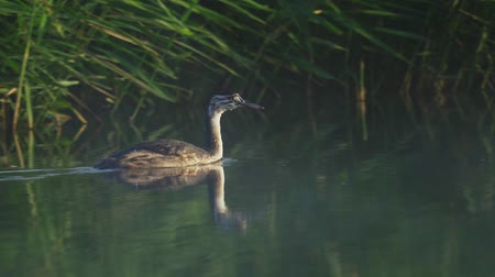 cristatus : Young bird of Great Grebe (Podiceps cristatus) Stock Footage