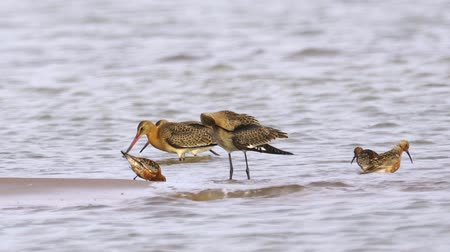 limosa : Birds - Bar-tailed Godwits (Limosa lapponica) and curlew sandpipers (Calidris ferruginea) walking. Stock Footage