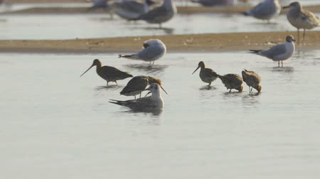 limosa : Birds - Bar-tailed Godwits (Limosa lapponica) Stock Footage