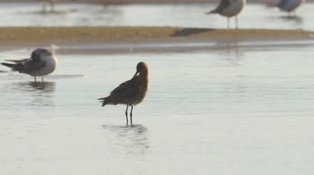 миграционный : Bird - Bar-tailed Godwit (Limosa lapponica) stands in shallow water and cleans his feathers.
