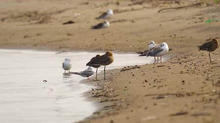 limosa : Birds - Bar-tailed Godwits (Limosa lapponica) and black-headed gulls (Larus ridibundus), common terns (Sterna hirundo) rest on the sandy shore.
