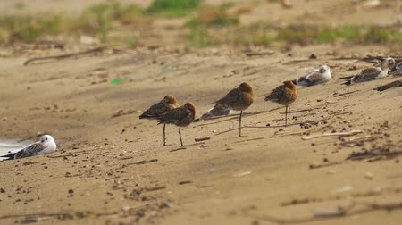 limosa : Birds - Bar-tailed Godwits (Limosa lapponica) and black-headed gulls (Larus ridibundus) rest on the sandy shore.