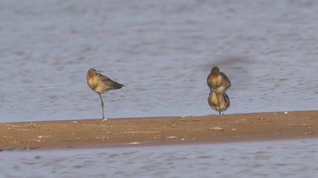 hayvanat : Birds - Bar-tailed Godwits (Limosa lapponica) walk on sandbanks. Stok Video