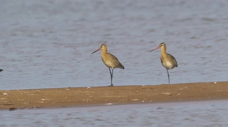 limosa : Birds - Bar-tailed Godwits (Limosa lapponica) walk on sandbanks. Stock Footage