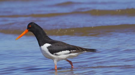 osztriga : Bird Eurasian Oystercatcher (Haematopus ostralegus) walks through shallow water, searches for molusks and eats them. Close-up.