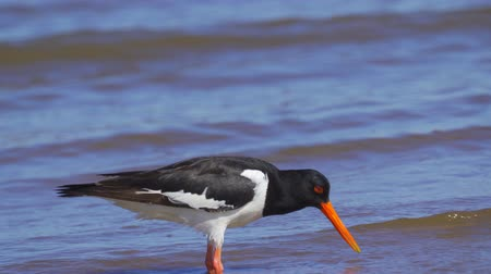 oysters : Bird Eurasian Oystercatcher (Haematopus ostralegus) walks through shallow water, searches for molusks and eats them. Close-up.