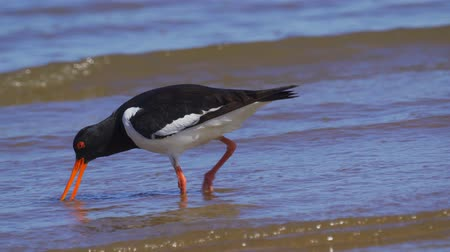 oester : Bird Eurasian Oystercatcher (Haematopus ostralegus) walks through shallow water, searches for molusks and eats them. Close-up.