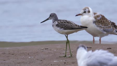 pluma : Bird common greenshank (Tringa nebularia) walks quickly through the sandbanks. He searches for food and eats it.