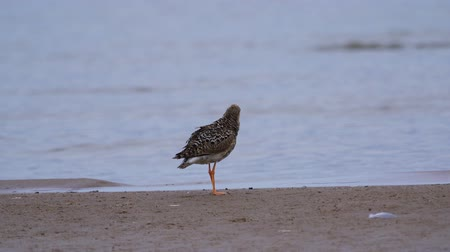 stěhovavý : Bird female ruff (Calidris pugnax) standing on the sandy shore and his feathers.